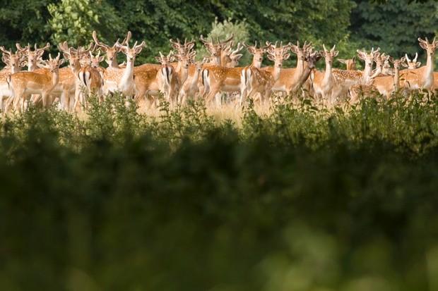 Herd of deer in parkland on the Holkham Hall estate in Norfolk