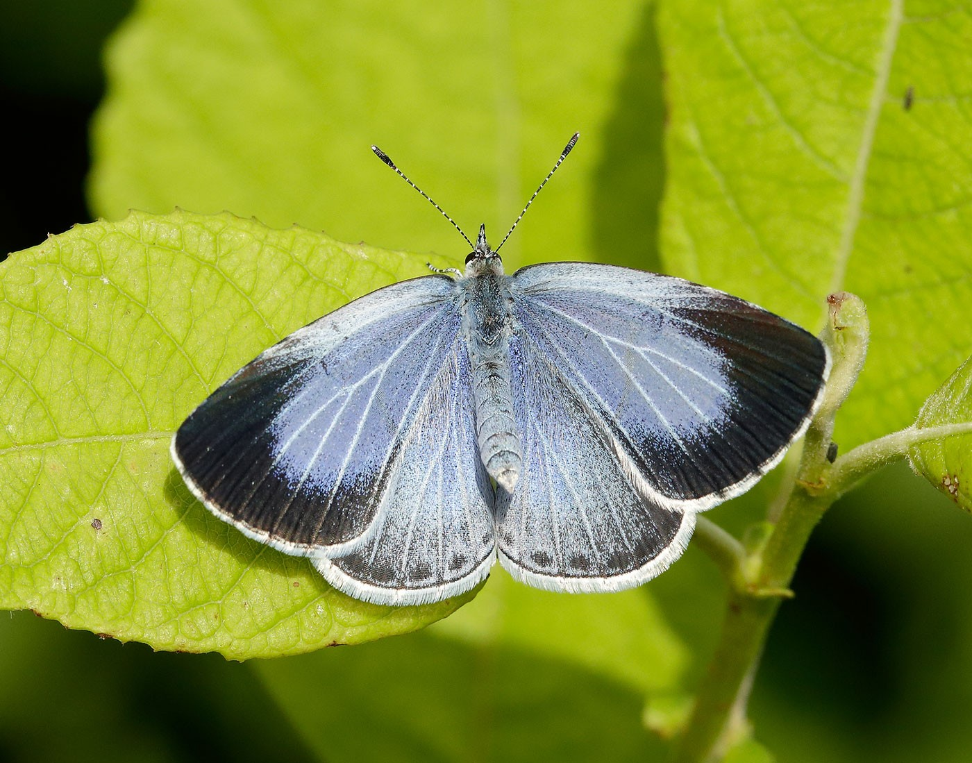 Holly-Blue_Iain-H-Leach-Butterfly-Conservation-b6b90ad