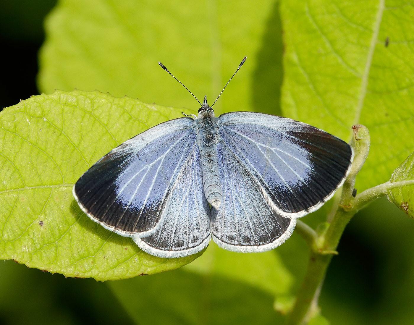 Holly-Blue_Iain-H-Leach-Butterfly-Conservation-b6b90ad