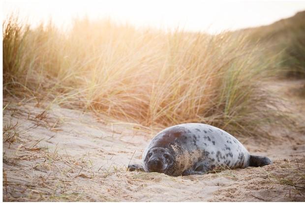 Grey seals in the dunes at Horsey Beach
