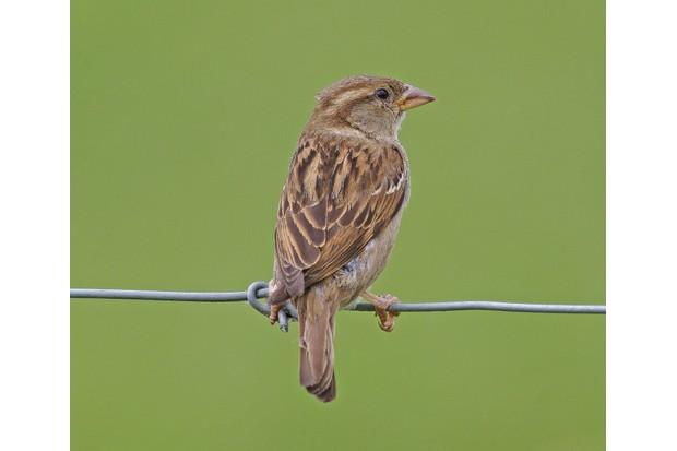 House-sparrow-2311343