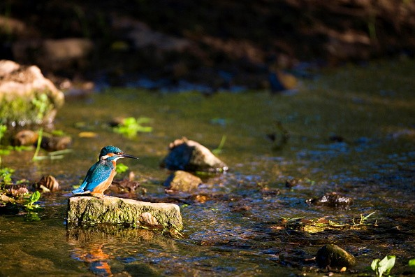 A Kingfisher perching on a stone in a stream