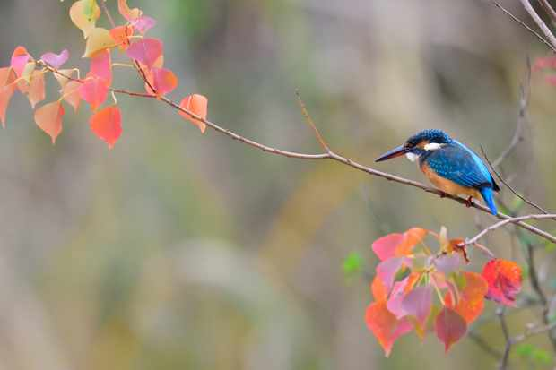 Kingfisher perching on autumn branch.