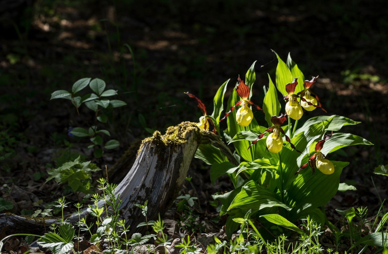 Lady's Slipper Orchid flower. Yellow with red petals blooming flower in natural environment. Lady Slipper, Cypripedium calceolus.  Kesselaid, a small island in Estonia. Nordic countries, Europe