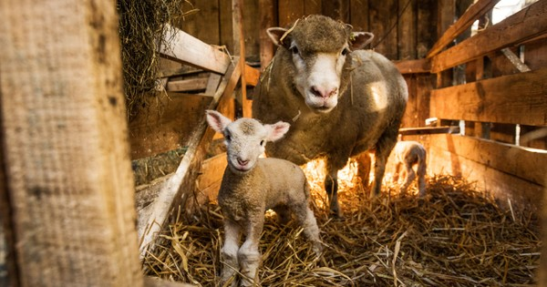 Lambing guide: what it is and the best places in Britain to see spring lambs