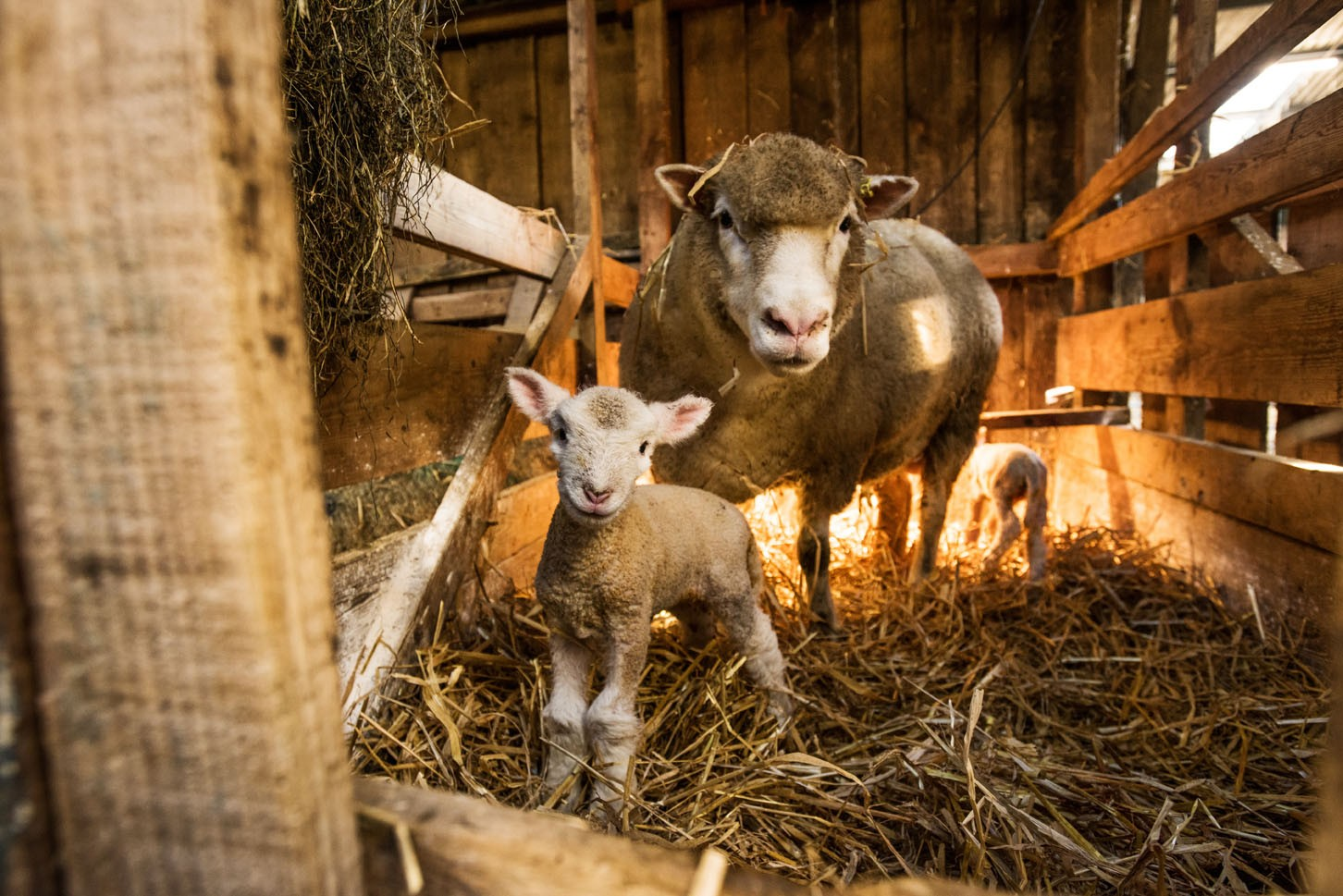 Lambs-011-8aa2f9c