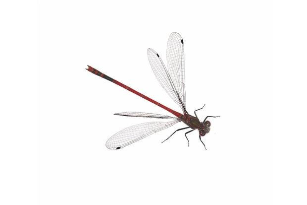 Large20red20damselfly-653ec0e