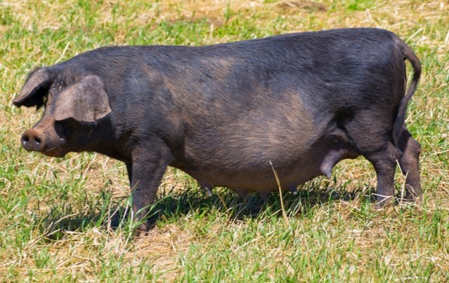Black pig outdoor grazing standing in Menorca Balearic islands