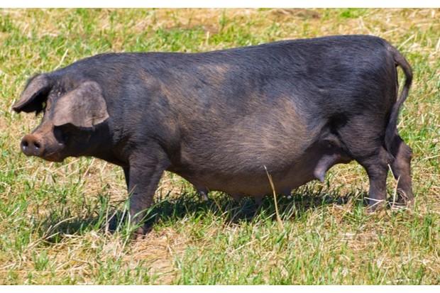 Black pig outdoor grazing standing in Menorca Balearic islands