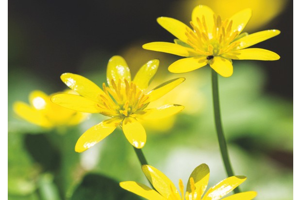 G24BF4 Lesser Celandine Ranunculus ficaria yellow flowers. Image shot 03/2012. Exact date unknown.