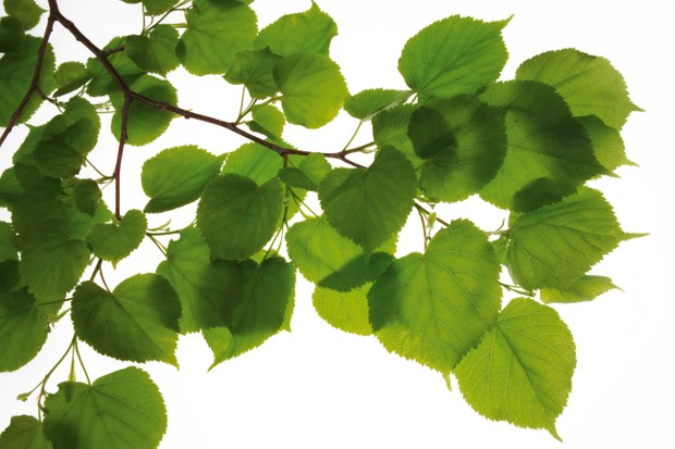 Lime tree leaves, Tilia