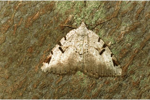 EBKB1T V-Moth (Macaria wauaria), sitting on bark, Germany