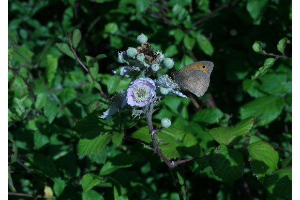 Meadowbrownbutterfly-onbramble-f782650