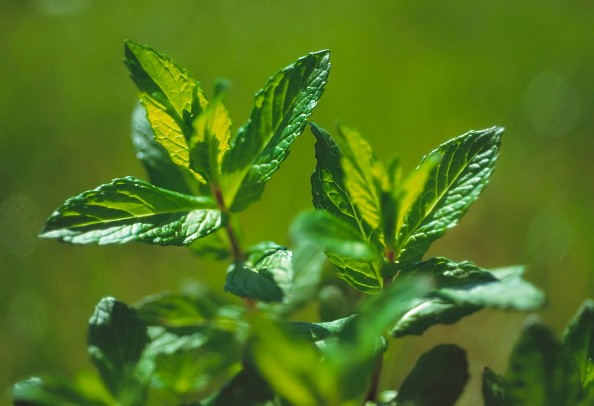 Spearmint, Mentha spicata. (Photo by FlowerPhotos/UIG via Getty Images)