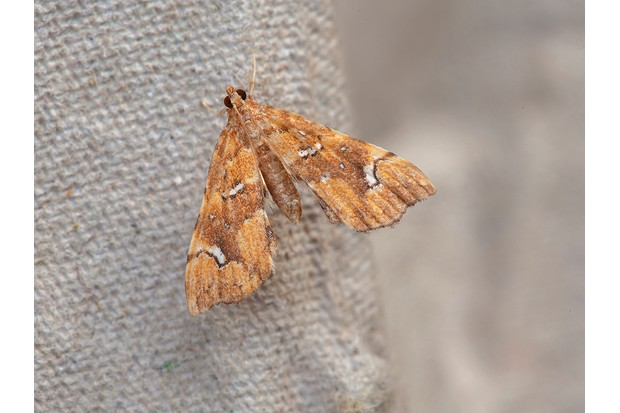 Musotima20nitidalis_Les20Hill2C20Butterfly20Conservation-9bef310