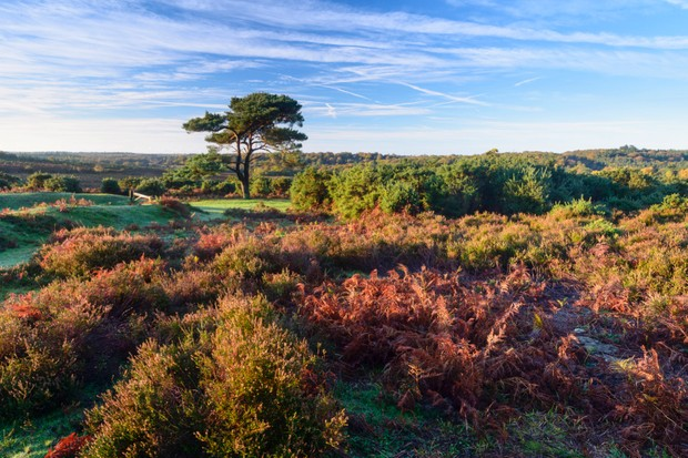 A view of a single pine tree at Bratley View in the New Forest.