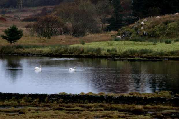 November-Swans-4cbd710