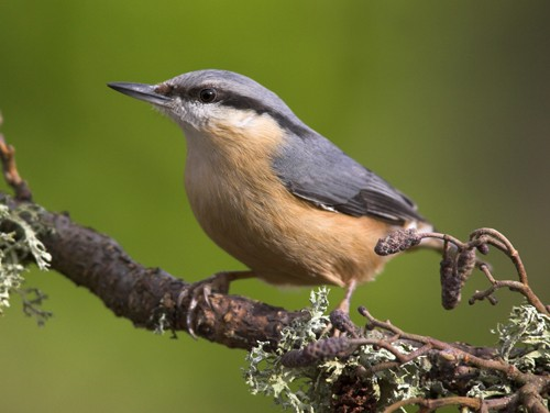 European Nuthatch (Sitta europaea) adult, perched on lichen covered twig, in garden, Berwickshire, Scotland, spring