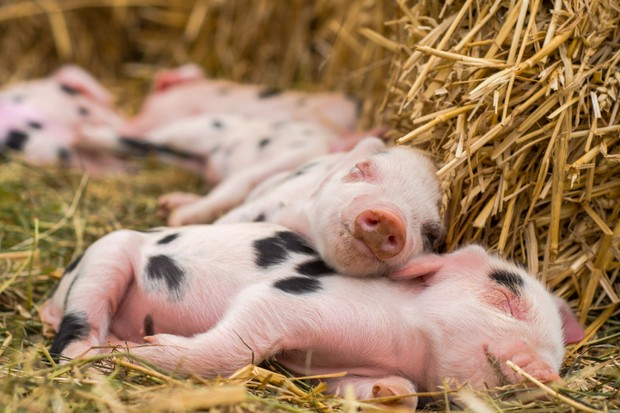Four day old domestic pigs outdoors, with black spots on pink skin