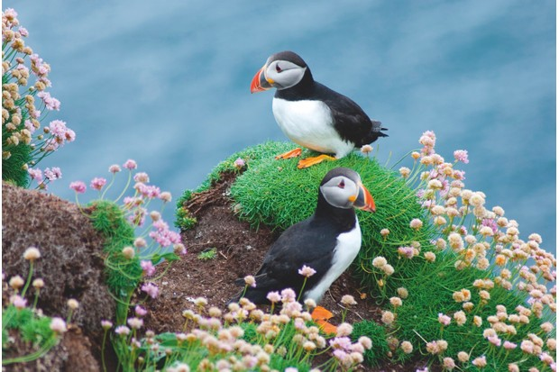 Roughly 10% of the world's puffin population lives in Britain