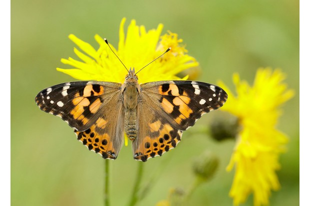 Painted-Lady_Ian-H-Leach2C-Butterfly-Conservation-f81282b