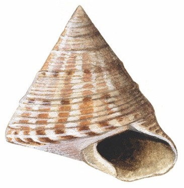 Painted20Topshell2028Calliostoma20zizyphinum2920OS001_cmyk-b430185