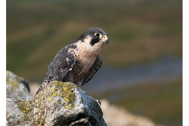 A Peregrine Falcon overhead on a rock