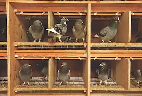 PigeonMAIN-4dcb445