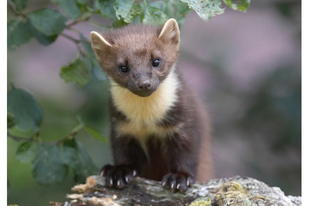 Pine marten on alder branch. Scotland. August.