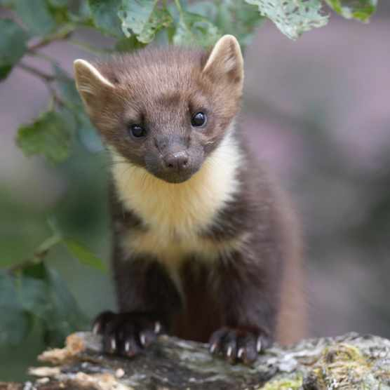 Pine marten on alder branch, Scotland