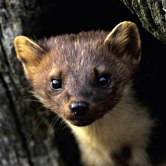 Pine Marten, Martes martes. UK ©Getty