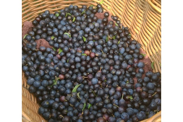 Basket of sloes