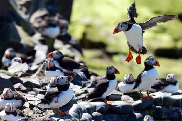 Puffins-on-the-Farne-Islands.-Credit-Paul-Kingston-and-NNP-81fa184