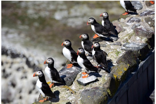 Puffins20on20the20cliffs20of20the20Farne20Islands.20Credit20Paul20Kingston-849031d