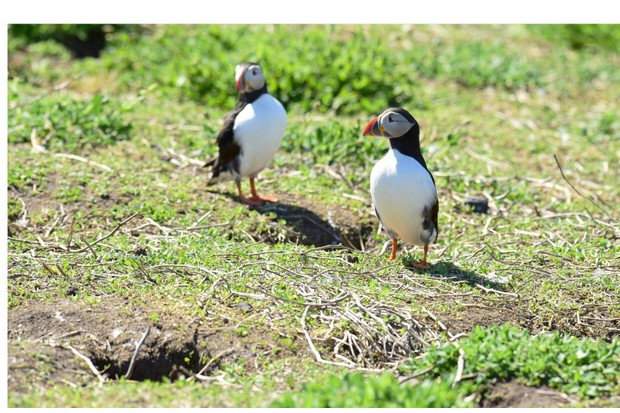Puffins20standing20guard20at20their20burrow.20Credit20Paul20Kingston20and20NNP-f713b61