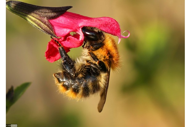 Common carder bee (Bombus pascuorum), Southville, Bristol by Neil James Brain submitted to the Great British Bee Count 2016