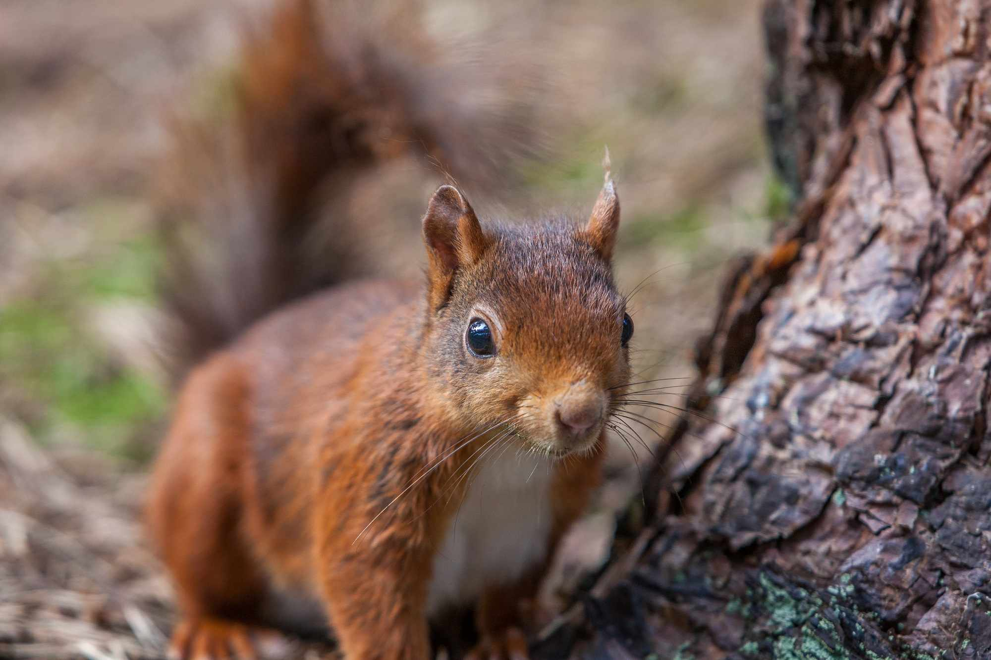 Red squirrel foraging in protected woodland at Formby, Liverpool