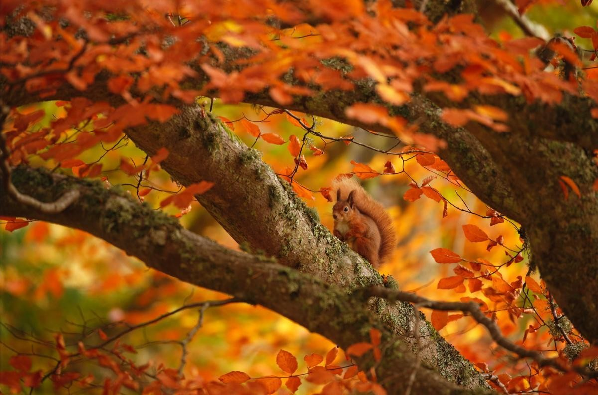 Red-Squirrel-in-autumn-trees-crop_0-52abcdc