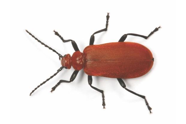 E45bd6 Cardinal Beetle Pyrochroa Serraticornis Captive Uk