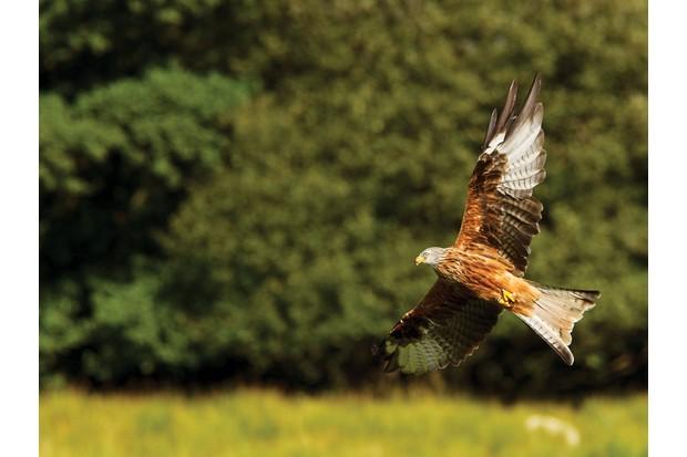 Red-kite-5816e3c