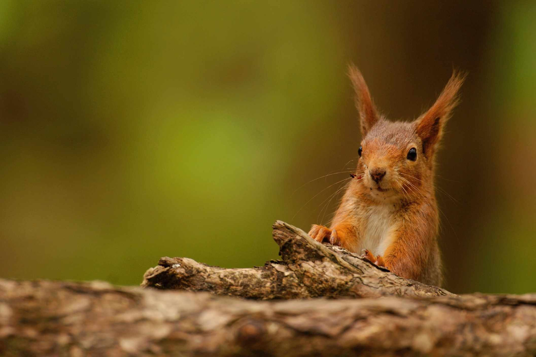 red squirrel facts guide