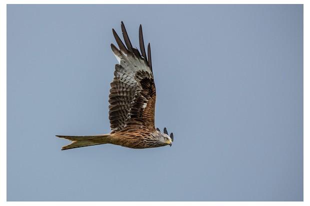 Red kite. (Photo by: Prisma Bildagentur/UIG via Getty Images)