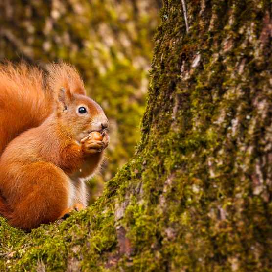 Red squirrel munching on a hazel nut sitting in his mossy tree