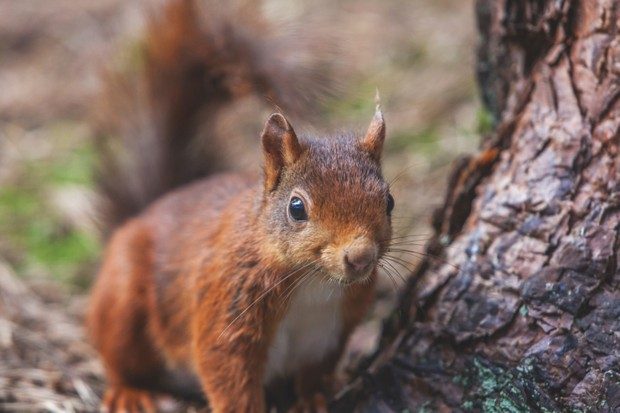 Red20squirrel20C2A920National20Trust20Images20Gary20Bailey-fc2b6aa