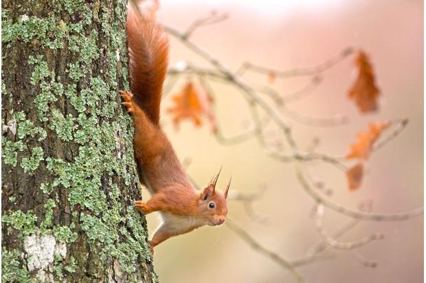 Red squirrel in the tree - France, Maine et Loire, Squirrel (Sciurus vulgaris)