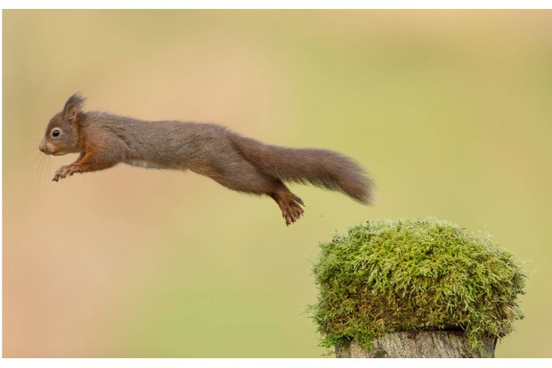 Red20squirrel20jumping-6fad238