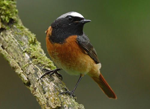 Redstart Phoenicurus phoenicurus, male perched on mossy branch, N Wales, UK. May