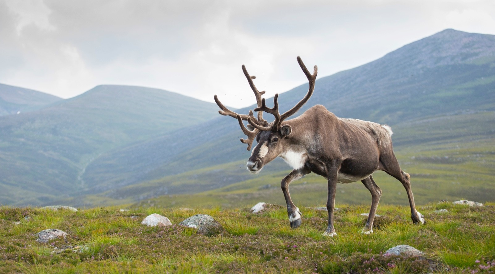 Reindeer (Rangifer tarandus) adult female, antlers in velvet, walking across upland moor, Cairngorms, Scotland, UK, August.