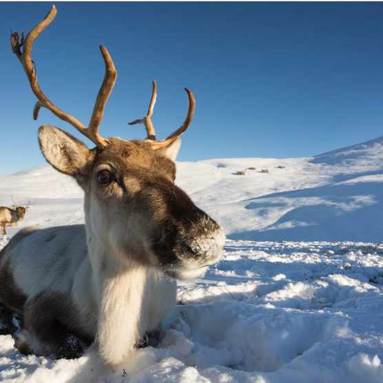 Reindeer_Lying_GettyImages-358872a