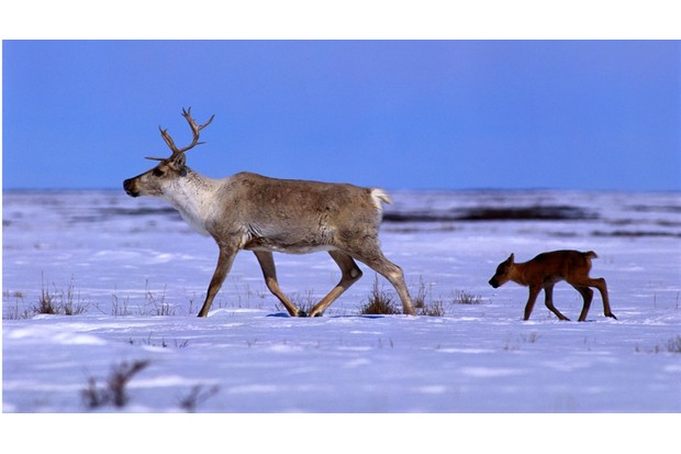 Reindeer_and_calf_GettyImages-81d4ef5